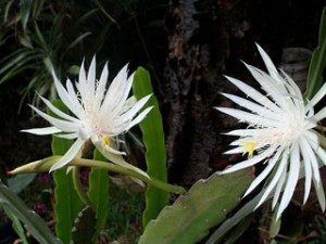 月下美人night-blooming-cereus-14557_640